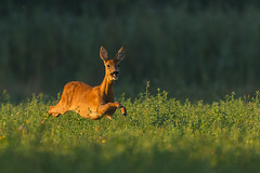 On the run (adambotond) Tags: roedeer deer capreoluscapreolus animal ruminant ruttingseason rut outdoor adambotond wildlife wildlifephotography wild wilderness wildanimal nature naturephotography canon canoneos1dx canonef400f4doisiiusm canonefextender2xiii tripod hungary europe goldenhour dawn grass forest roe europeanroedeer európaiőz doe mammal field