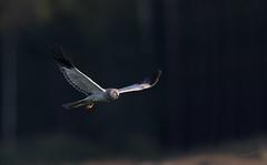 My favorite hawk (MatsOnni) Tags: sinisuohaukka circuscyaneus henharrier hawks raptors haukat petolinnut mattisaranpää