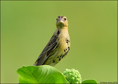 First Summer Male Bobolink (Dolichonyx oryzivorus) (Steve Arena) Tags: dolichonyxoryzivorus bobo bobolink male blackbird hhcsa heirloomharvest heirloomharvestcsa westboro westborough worcestercounty massachusetts 2017 nikon d750 bird birds birding