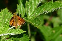 Skipper (evisdotter) Tags: skipper ängssmygare ochlodessylvanus butterfly fjäril insect macro nature light sooc