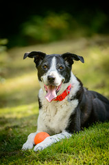 Zac recovers - with his orange ball! (grahamrobb888) Tags: zac dog pet mongrel d800 nikond800 nikon nikkor afnikkor80200mm128ed garden homegarden highlands tighnabeithe sunny summer birnam birnamwood birnamhill ball fun game play