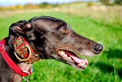 171014 Dogs-0206 (whitbywoof) Tags: rescue pet dog retired racer pedigree greyhound accolade hound
