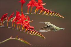 Hummingbird with blooming Crocosmia Lucifer (Protik Mohammad Hossain) Tags: flower hummingbird crocosmialucifer redflower hummer