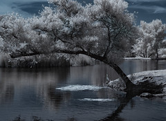 White Egret In An Infrared World (Bill Gracey 20 Million Views) Tags: egret avianphotography infrared infraredphotography convertedinfraredcamera ir santeelakes water vegetation sky clouds surreal composition