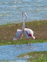 Pretty Flamingos (Nanooki ʕ•́ᴥ•̀ʔっ) Tags: africa namibia ©suelambertlrpscpagb na walvisbay erongoregion flamingos birds