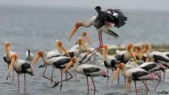 FRENZY. . . (Rakesh Kumar Dogra) Tags: rakeshkumardogra feeding painted storks naturephotography birdsofindia birdphotography