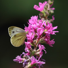 A Summer Visitor (AnyMotion) Tags: largewhite groserkohlweisling pierisbrassicae cabbagebutterfly cabbagewhite largecabbagewhite butterfly schmetterling insect insekt purpleloosestrife gewöhnlicherblutweiderich lythrumsalicaria blossom blüte bokeh plants pflanzen nature natur animals tiere wildlife insects makro macro closeup 2018 anymotion blumen floral flowers frankfurt 7d2 canoneos7dmarkii garden garten colors colours farben yellow gelb pink rosa summer sommer été verano zomer estate square 1600x1600