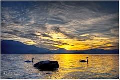Schwäne (Karl Glinsner) Tags: landschaft landscape österreich austria oberösterreich upperaustria salzkammergut outdoors abend evening sonnenuntergang sunset see lake abendrot traunsee schwäne schwan swans
