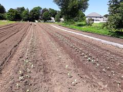 fall plantings (in july) (BelmontAcresFarm) Tags: july 2018 belmontacres belmont farm brassicas