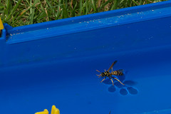 Freischwimmer (Andy Gudera) Tags: insekten insects tiere animals wespe wasp