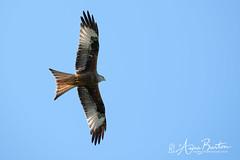 Soaring Red Kite (xxKnuckles) Tags: borth ceredigion milvusmilvus redkite uk wales bird birds raptor prey soaring