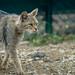Wild Cat III
