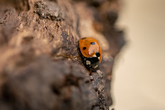 Ladybird (d0mokun) Tags: macro sigma sigma105mm insect bug ladybird lady bird assassin