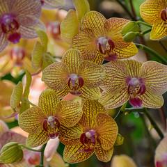 Phalaenopsis orchid (Robert-Ang) Tags: orchid phalaenopsis singapore nature