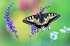 Summer time (sylviafurrer) Tags: schwalbenschwanz schmetterling swallowtail butterfly flower blume bokeh summertime machaon ngc npc coth5