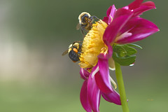 Teamwork (ChristopherLeeHewitt) Tags: bee insect dahlia pollen naturallight nature flower fleur flowers flora foliage petals plants macro handheld naturephotography red yellow garden green pollination