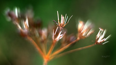 // Jahrhundertsommer (seyf\ART) Tags: summer hot sommer zenithelios44 samen seeds