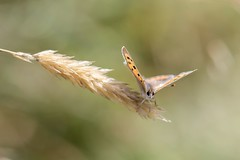 Out on a Limb #1 (Small Copper) (gavsidey) Tags: grass insect small copper ngc d500