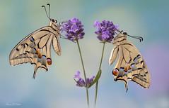 Macaoni su lavanda. (franco 1961) Tags: macro farfalle fiore farfalla fiori flowers butterfly papillions caterpillar bruco mariposas