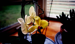 (bluebird87) Tags: film kodak ektar nikon f100 epson v600 orchid flower dx0 lightroom