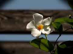 Flower, Cantigny Park. 57 (EOS) (Mega-Magpie) Tags: canon eos 60d nature flower outdoors cantigny park wheaton dupage il illinois usa america