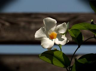 Flower, Cantigny Park. 57 (EOS)
