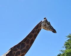Rothschild's giraffe (Nemoleon) Tags: aalborgzoo june 2018 rothschildsgiraffe giraffacamelopardalisrothschildi dsc01119