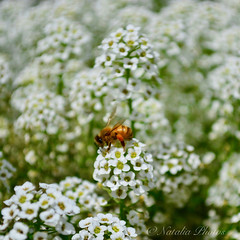 I was so busy - it made me dizzy (avnz101) Tags: bee flowers nature macro