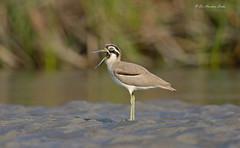 Speaking Out... (Anirban Sinha 80) Tags: nikon d610 fx 500mm f4 ed vrii n g 17xtc 850mm bird stoneplover bokeh natural wild habitat