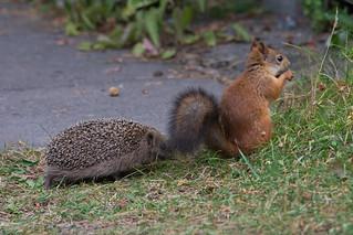 Juvenile Hedgehog encounters Red Squirrel