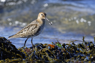 The tiny-wee dunlin
