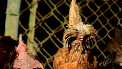 DSCN4301 poulailler 19 (poule padoue) Ecancourt (jeanchristophelenglet) Tags: écancourtfrancefermedécancourt poulailler chickencoop galinheiro poulepadouechamoisée padovanachicken galinhapadovana