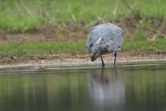 Pure focus (Bird-guy) Tags: greatblueheron heron ardeaherodias lakepeachtree peachtreecitygeorgia