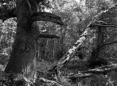 Hyons Wood (Jonathan Carr) Tags: black white tree ancientwoodland monochrome mediumformat ruralnortheast mamiya landscape tmax