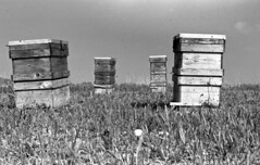 Honey bee boxes (odeleapple) Tags: nikon f2 nikkor 50mm f14 yellowfilter kodaktmax100 film monochrome analog bw honey bee box