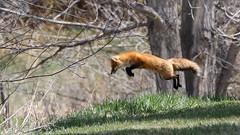 Fox (Bill G Moore) Tags: fox animal wildlife red canon colorado