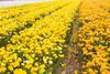 Carlsbad Flower Fields (jjthandcd) Tags: carlsbad carlsbadflowerfield flower field garden sandiego