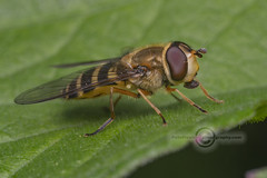 _IMG1397 Hoverfly (Pete.L .Hawkins Photography) Tags: hoverfly petehawkins petelhawkinsphotography petelhawkins petehawkinsphotography pentax 100mm macro pentaxpictures pentaxk1 fantasticnature fabulousnature incrediblenature naturephoto wildlifephoto wildlifephotographer naturesfinest unusualcreature naturewatcher insect invertebrate bug 6legs compound eyes creepy crawly uglybug bugeyes fly wings eye veins flyingbug flying