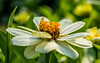 Ionic volute (ozkantayfun) Tags: volute ionic flower flowers nature green yellow orange macro details view spring summer light olympus wallpaper hd