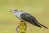 Cuckoo 500_9807.jpg (Mobile Lynn) Tags: birds nature cuckoo bird fauna wildlife thursley england unitedkingdom gb coth specanimal coth5 ngc npc