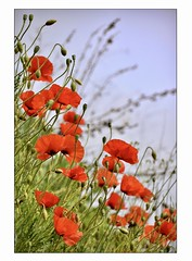 La diagonale (Charlottess) Tags: vaucluse nikon5300 mai rouge coquelicot fleur