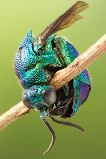 Emerald wasp