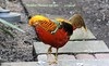WBY2103-18 7D2-100 President Pheasant tap toes (wbyoungphotos) Tags: 7d2 100400mm l pheasant cautious stepping step slim slimmer orange colour calor calorful wbyoungphotos bird bigbird