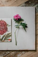mai-6332 (h o t a r u) Tags: stilllife flora floral flowers flower bloom naturallight dof color pop soft pastel detail windowlight