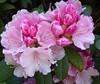 Flowers of the Rhododendron (Fijgje On/Off) Tags: plant struik shrub rhododendron bloemen flowers meel meeldraden stamper pistil samen fijgje panasonicdmctz60 mei2018 roze pink