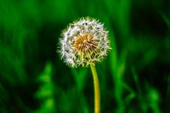 Pide un deseo (132/365) (Walimai.photo) Tags: green dientedeleón dandelion desire deseo verde bokeh nikon d7000 nikkor 35mm detail detalle macro desenfoque casera homemade