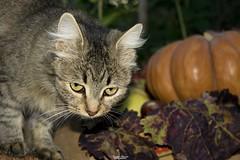 Tribute to Tiffany (Francesca Murroni ┃Wildlife Photographer) Tags: cats gatti love animals nature