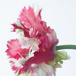 Red/white striped tulip thumbnail