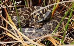 Eastern massasauga rattlesnake (Sistrurus catenatus) (phl_with_a_camera1) Tags: eastern massasauga rattlesnake sistrurus catenatus nature rattle snake animal herping heron