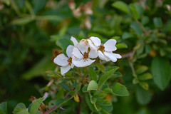 White Flower Blossoms. (dccradio) Tags: lumberton nc northcarolina robesoncounty outdoors outside nature natural plant greenery flower floral flowers flowering leaf leaves foliage spring springtime sunday sundayafternoon nikon d40 dslr